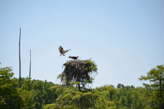 Pair of Osprey returning to feed their young
