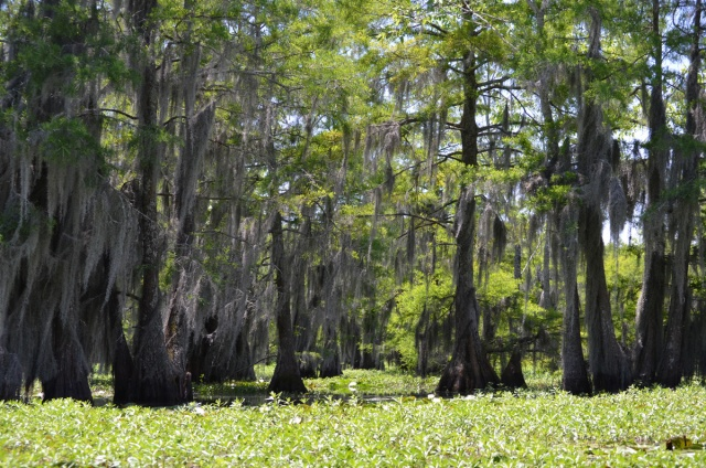 Spanish Moss, one of the things I love about living in the south!